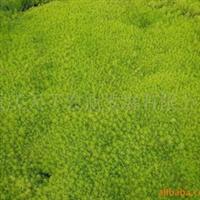 供应边坡、屋顶绿化草坪佛甲草