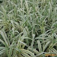 供应水景、庭院栽培植物花叶芦竹
