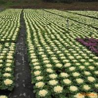 供应羽衣甘蓝、用于花坛、花带、广场、公园