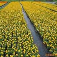 供应孔雀草、花丛、花镜、公园、花坛、广场