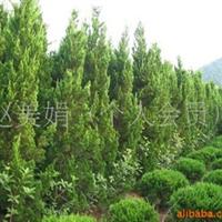 供应龙柏 绿化苗木