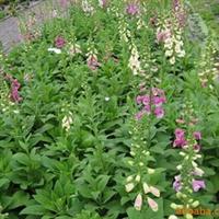 供应毛地黄、用于景观、花丛、点缀、庭院观赏