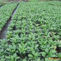 供应花镜点缀地被植物玉簪