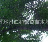 特价甩卖自家28公分银杏树一棵