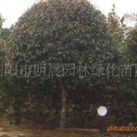 浏阳市明晨园林绿化苗圃供应绿化苗木、桂花