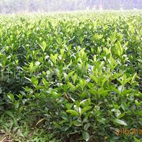 浏阳市明晨园林绿化苗圃供应大叶栀子