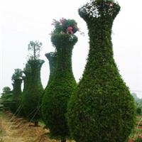 浏阳市明晨园林绿化苗圃供应龙柏