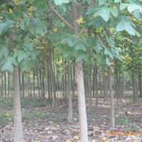 浏阳市明晨园林绿化苗圃供应马褂木