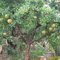 浏阳市明晨园林绿化苗圃供应果石榴树