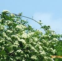 供应:樱花、红梅、绿梅、垂梅(图)