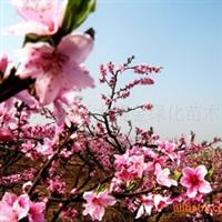 供应:梨花海棠、长寿果海棠、垂丝海棠(图)