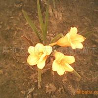 供应:草坪:鸢尾、萱草(图)