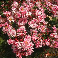 供应红叶复花紫薇