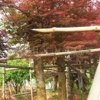 浏阳市明晨园林绿化苗圃供应红枫