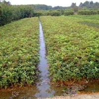 浏阳市明晨园林绿化供应四季桂小球