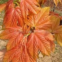 供应金叶银槭