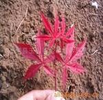 供应日本红枫