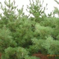 绿鑫苗木供应大量华山松