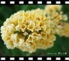 专业种植销售绿化苗木海州常山泰安市绿鑫苗木花卉合作社