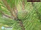 长期大量供应优质绿化苗木油松泰安市绿鑫苗木花卉合作社