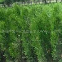 大量供应绿化苗木侧柏泰安市绿鑫苗木花卉合作社