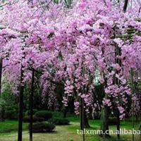 大量出售绿化苗木紫藤