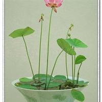 加盟批发混批藕种莲藕,碗莲种子,荷叶莲子,荷花花卉