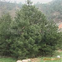 供应绿化用品白皮松1--6米