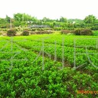 阿里苗木场大量供应湖南特色杜鹃小苗