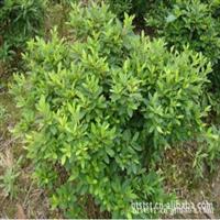 供应特价杜鹃球 直径30公分 绿化苗木