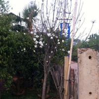 120-300cm 垂榕 垂榕苗木 垂榕苗 垂榕树 苗木