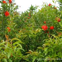 供应陕西西安咸阳宝鸡渭南陕北西北绿化苗木 丛生红石榴