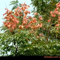 供应2-18公分各种规格的 栾树 彩色树种