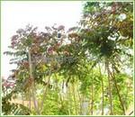 供应1-7公分 火炬树