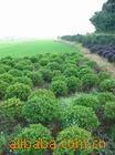 【灌木】供应园林绿化工程各种规格树种 春杜鹃