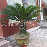 供应优质铁树 乐清绿化苗木