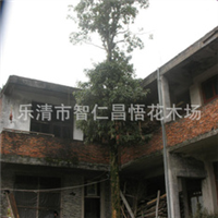 供应优质楠木 直径26cm