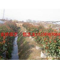 大量供应红叶石楠球地栽容器工程绿化园林彩叶苗木批发直销金桥