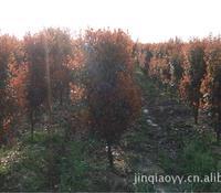 特色供应各规格红叶石楠圆柱造型园林绿化苗木行道树大量批发直销