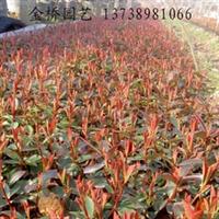 特价供应优质红叶石楠扦插小苗彩叶工程绿化苗木地栽大量批发直销
