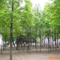 供应水杉,绿化苗木