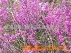 供应紫荆,绿化苗木(图)