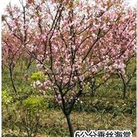 供应垂丝海棠,绿化苗木(图)