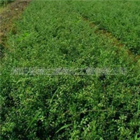 供应龟甲冬青,绿化苗木