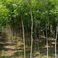 大量供应法桐树