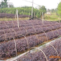 红继木袋苗,红花继木,深圳惠州绿化工程灌木,绿化袋苗