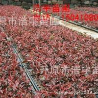 密枝红叶李容器苗  密枝红叶李穴盘苗 密枝红叶李小苗