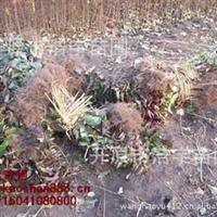 紫丁香播种小苗 紫丁香播种苗 丁香播种苗 紫丁香苗价格