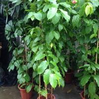 基地生产藤本植物葡萄、炮仗花、使君子、金银花