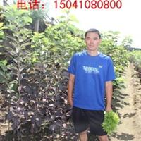 速生紫叶稠李  紫叶稠李1.7米以上 黑龙江紫叶稠李 东北建圃小苗